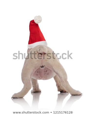 back view of english bulldog wearing santa hat standing Stock photo © feedough