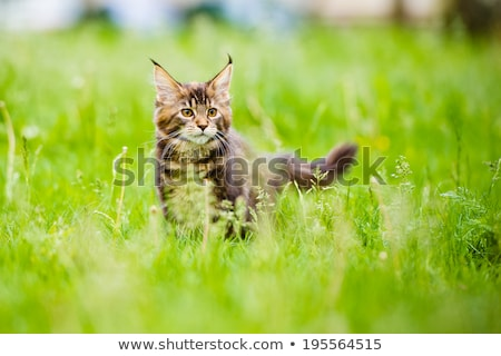 adorable little red maine coon cat kitten stock photo © catchyimages