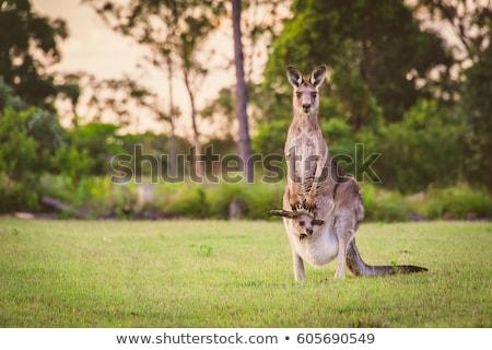 Kenguru pihen anyák láb vad Ausztrália Stock fotó © THP