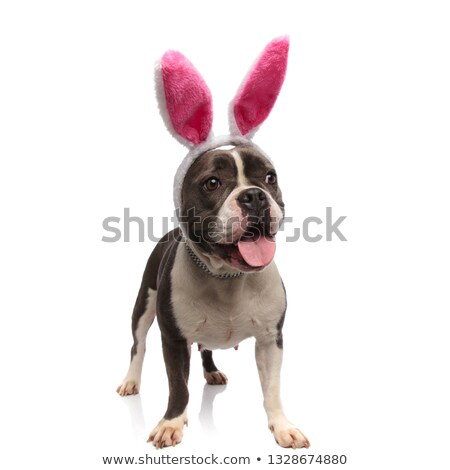 curious panting american bully with rabbit ears looks to side Stock photo © feedough