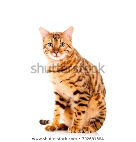 Erkek bengal kedi yakışıklı parlak Stok fotoğraf © CatchyImages