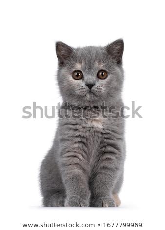 英国の · ショートヘア · 猫 · カットアウト · 孤立した · 黒 - ストックフォト © catchyimages
