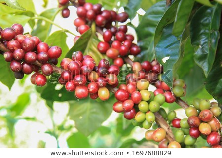 Unripe coffee beans on stem in Vietnam plantation Stock photo © galitskaya