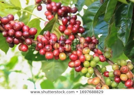 groene · koffiebonen · blad · koffie · dieet · concept - stockfoto © galitskaya