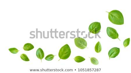 Basil leaves on white background stock photo © Francesco83
