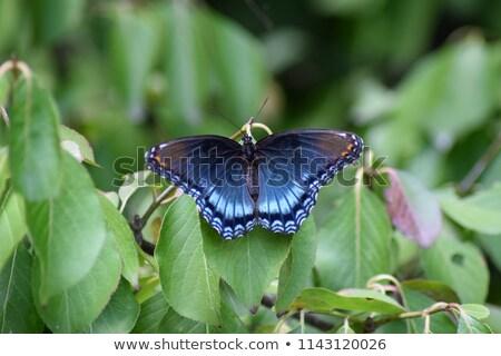 azul · borboleta · asas · branco · de · volta · sombra - foto stock © ca2hill