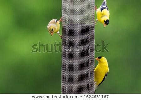 певчая птица полный подсолнечника семян природы птица Сток-фото © Kenneth_Keifer