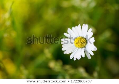 close up with daisy Stock photo © carlodapino