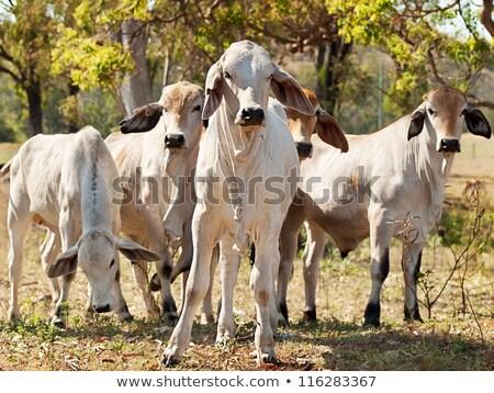 Genç sığır eti sığırlar alan avustralya çiftlik Stok fotoğraf © sherjaca