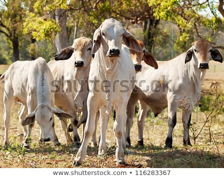 Young Brahman Calf For Beef Cattle Stok fotoğraf © Sherjaca