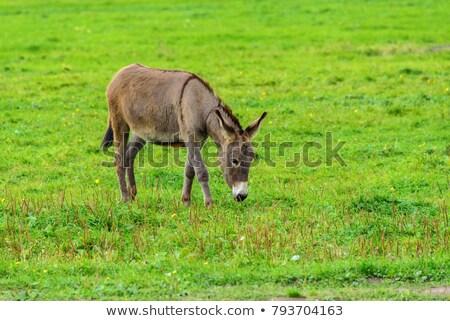 Măgar câmp gri agricultorii iarbă animal Imagine de stoc © rhamm