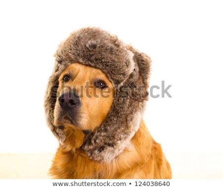 レトリーバー · 犬 · 面白い · 冬 · 毛皮 · キャップ - ストックフォト © lunamarina