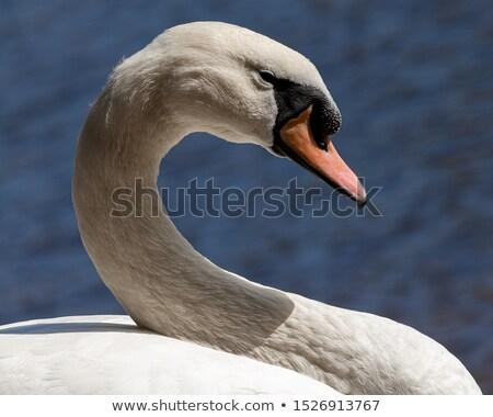 wektora · bezszwowy · łabędź · wzór · biały · projektu - zdjęcia stock © littlelion