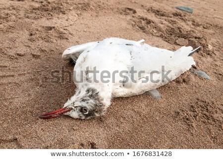 Dead Seagull at the coast Stock photo © dinozzaver