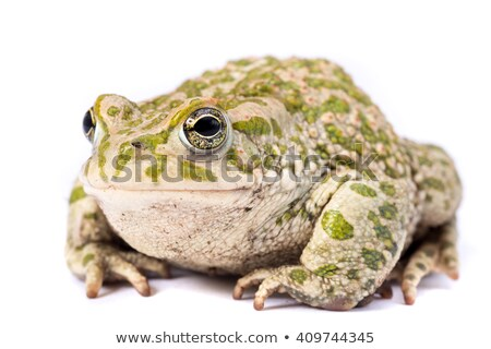 fat frog isolated Stock photo © alptraum