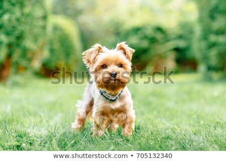 pequeno · yorkshire · terrier · caminhada · passado - foto stock © fantasticrabbit