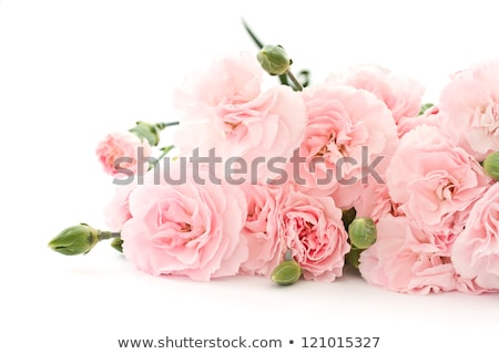 pink and white carnation stock photo © maros_b