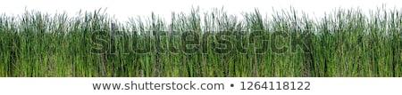 Stockfoto: Kat · gras · geïsoleerd · witte · natuur · achtergrond