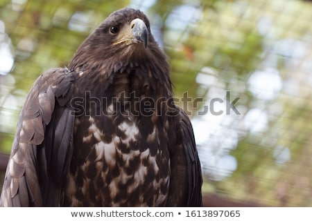 eagle portrait view from below Stock photo © OleksandrO