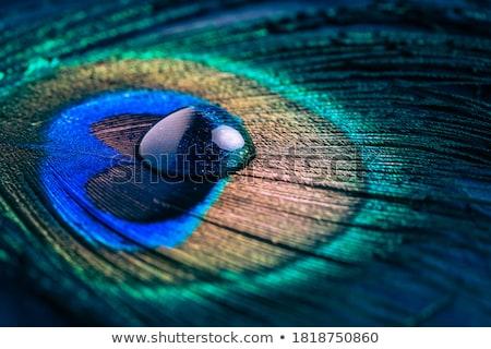 páva · ventillátor · tükröződés · fehér · háttér - stock fotó © kimmit