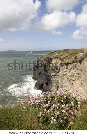 Сток-фото: ирландский · розовый · Полевые · цветы · способом