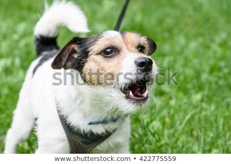 собака · иллюстрация · цепь · страхом · сердиться · Cartoon - Сток-фото © blamb