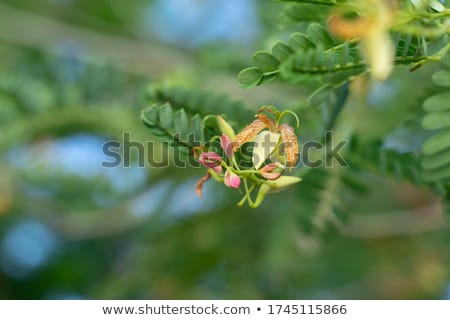 Tamarind flower background blurred Stock photo © teerawit