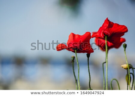 wild poppies blown by the wind Stock photo © taviphoto