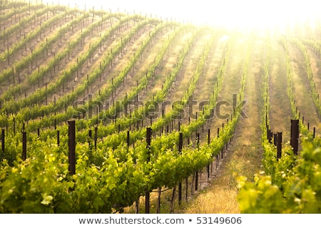 beautiful lush grape vineyard leaves stock photo © feverpitch