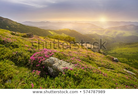 Stock photo: Rhododendron blooming meadow in the mountains