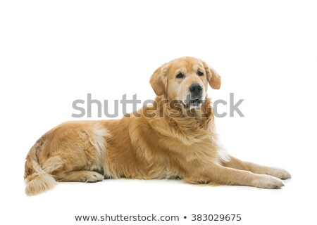 Old beautiul golden retriever dog Stock photo © svetography