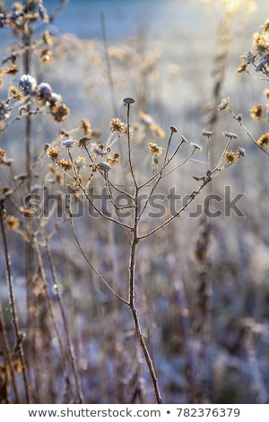 Stock photo: frozen plants in meadow with backlight in wintertime