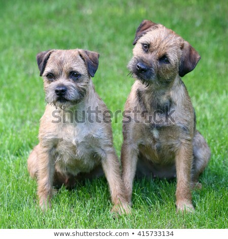 Typical  Two Border Terriers in the park Stock photo © CaptureLight