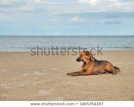 thai · kutyakölyök · izolált · fehér · egy · hónap - stock fotó © svetography