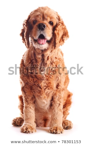 Stock photo: American Cocker Spaniel in a white photo studio