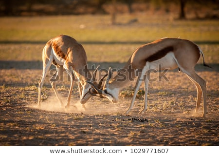 Springbok Ram Stock photo © zambezi