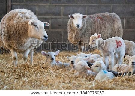 羊 · 干ばつ · 母親 · 子羊 · オーストラリア - ストックフォト © suerob