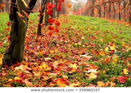 Mooie kleurrijk wijngaard najaar wijn blad Stockfoto © stefanoventuri