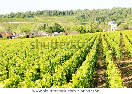 vineyards near Gevrey-Chambertin, Cote de Nuits, Burgundy, Franc Stock photo © phbcz