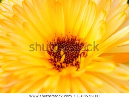 Yellow calendula flower with red-brown stamen Stock photo © sarahdoow