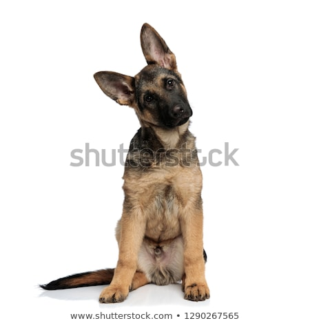 seated german shepard leans its head to side Stock photo © feedough