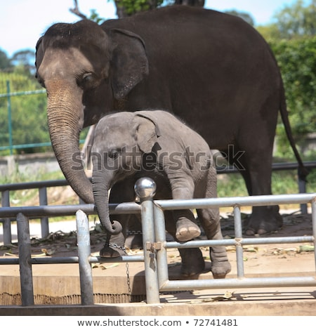 two elephants in the zoo ask for food stock photo © galitskaya