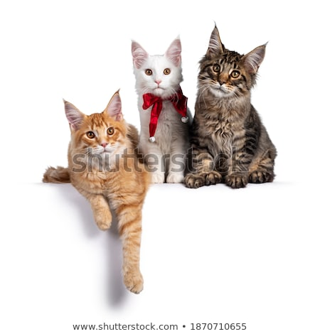 3 sweet black tabby with white Maine Coon cat Stock photo © CatchyImages