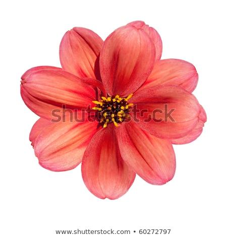 Rosso dalia fiore bianco estate bud Foto d'archivio © Arsgera