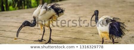 アフリカ 公園 バナー 長い フォーマット ストックフォト © galitskaya