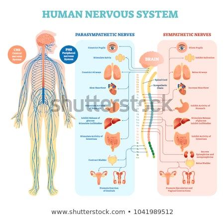 Humanismo sistema nervoso diagrama anatomia seção transversal Foto stock © Pixelchaos