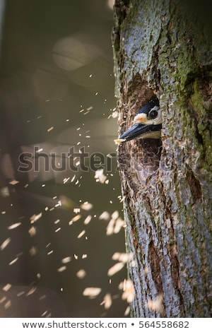 Great spotted woodpecker making room for the family in his new cavity Stock photo © lightpoet