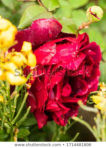 dark red rose with dew drops very close-up  stock photo © Alkestida