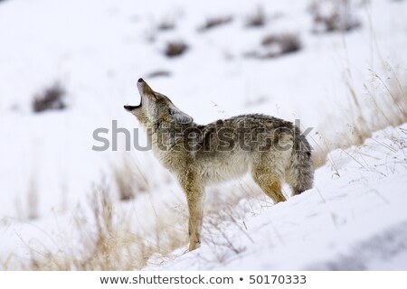 Coyote hunting for a mouse in Yellowstone National Park Stock photo © photoblueice