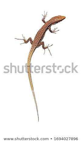 lagarto · branco · colorido · isolado · verde · azul - foto stock © angelsimon